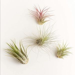 (4) Urban Outfitters Mini Live Air Plant